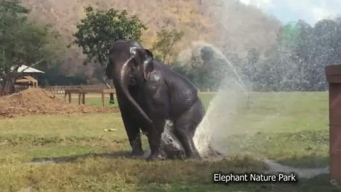Rescued Elephant Intentionally Breaks Sprinklers to Create Her Own Water Park