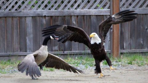 Battle of Two Nations: America's Bald Eagle Vs. Canada's Goose Goes Viral