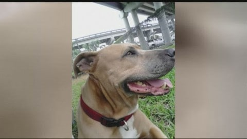 Heroic Service Dog Sacrifices Herself to Save Owner from Alligator
