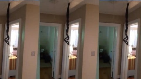 See Man Find Two Huge (Mating) Snakes Dangling From Attic