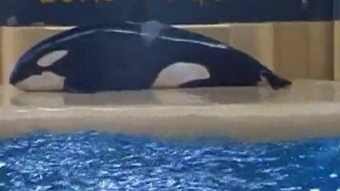 SeaWorld Owned Orca Beaches Itself Immediately After Performance as Audience Watches