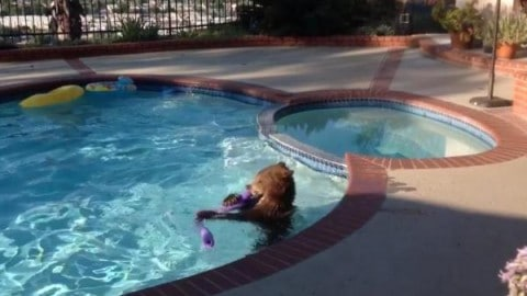 Bear Goes for Swim in Pool, Destroys Pool Toys