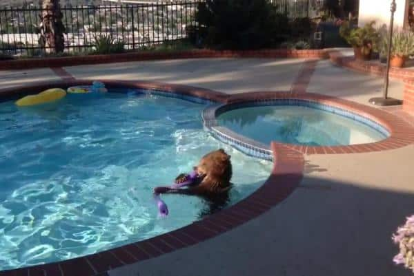 bear goes for swim in pool destroys pool toys outdoors360