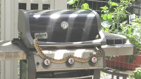 Huge Snake Climbing on Grill Tries to Ruin Barbecues for Everyone