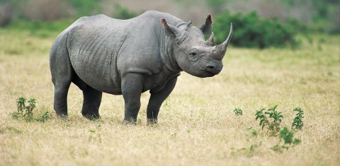 African Country Accepting Bids From Trophy Hunters to Kill 3 Black Rhinos