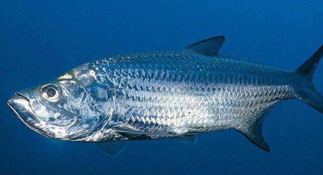 NIB-Fish-R_jpg_635x345_crop-smart_upscale_q85