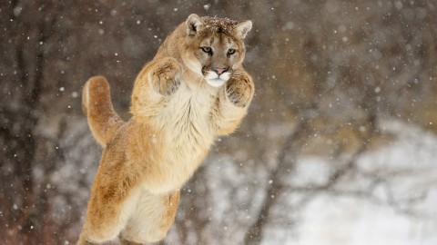 Mother Fights Off Cougar That Attacked Her 5-Year-Old Son