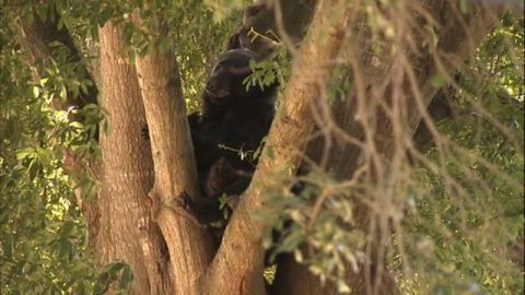 Black Bear Gets Tranquilized and Relocated After Climbing into Neighborhood Tree