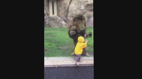 Lion Slams into Glass Cage While Attempting to Attack Toddler