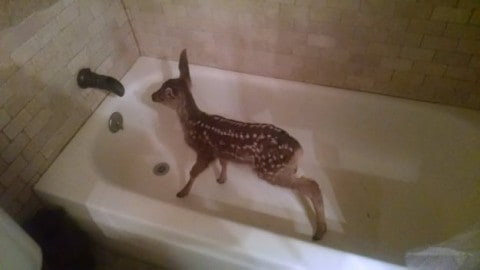 A Lost Fawn Dashes into Home to Hide in Bathtub