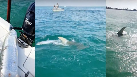 See Insane 2 Minutes of Giant Hammerhead Shark Attacking Boat, Multiple Tarpon, and Total Chaos