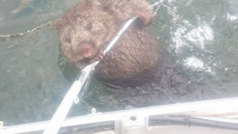 Catch of a Lifetime – Fishermen Rescue Struggling Wombat