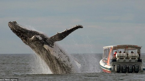 Whale Breaches Surface as Whale Watchers Look On…Too Bad They Were Facing the Wrong Way!