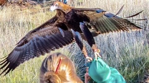 Ticked Off Eagle Tries to Carry Off Child During Wildlife Show