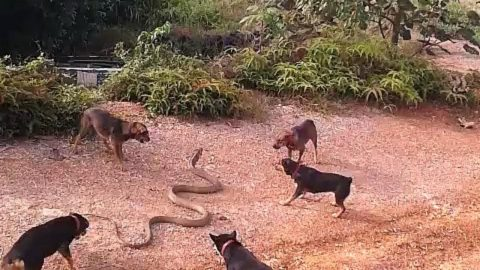 Pack of Dogs Fight 13-Foot King Cobra in Brutal Standoff