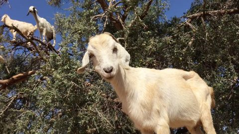 This Goat Tree is the Most Mind Boggling Thing You'll See All Week