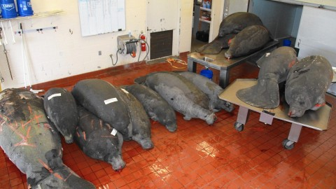 Manatees are Dying Off Again in Polluted Indian River Lagoon
