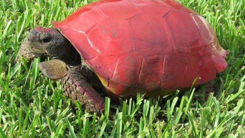FWC Wants People To STOP Painting Turtles