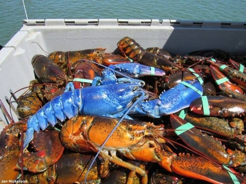 Fisherman Catches Extremely Rare Blue Lobster For Second Time In His Life; Odds 1 in 4 Trillion