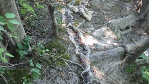 """Wessie"" The Mysterious Giant Snake Sheds Skin Near Maine River, Emergency Alerts Issued"