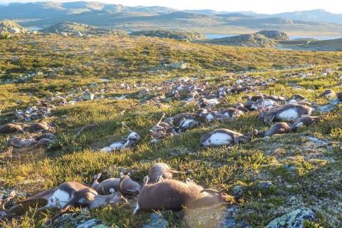 Freak Lightning Strike Kills Hundreds Of Reindeer