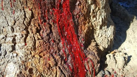 "See Why This ""Bleeding Tree"" Has Gone Viral"