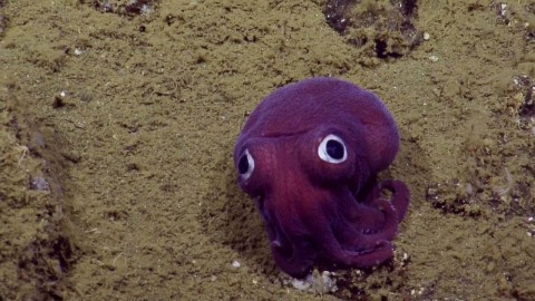 Scientist Discover Cartoon-Like Googly-Eyed Squid