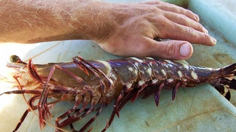 Massive Cannibal Tiger Shrimp Could Ruin US Gulf