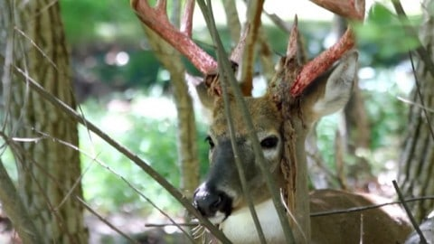 Watch: 10-Point Buck Shedding The Last Of His Velvet