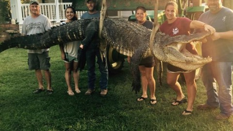 Woman Breaks Record With 13-Foot, 700-Pound Alligator