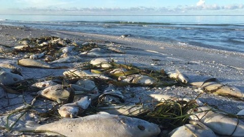 Hundreds Of Dead Fish Wash Up On Shore As Red Tide Spreads off Central Florida