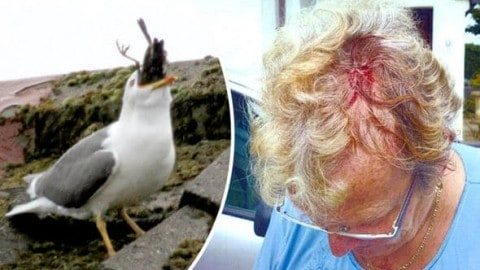 Woman Stuck in House 2 Days Because of Seagull Attacks, Rushes to ER
