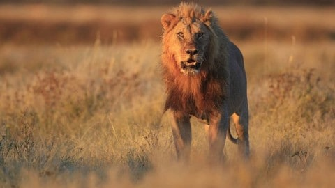 Research Shows Trophy Hunting Of Lions Helps Species Long-Term