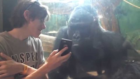 This Gorilla REALLY Like Looking At Pictures Of Gorillas