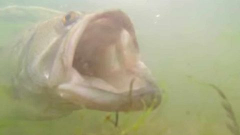 Largemouth Bass Tries To Eat GoPro, Gets Hooked Instead