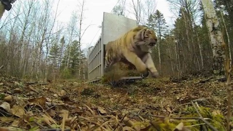 See the Priceless Reaction of an Endangered Siberian Tiger Released Back Into Wild