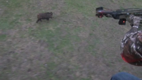See First Ever Hog Killed From A Helicopter With A Crossbow