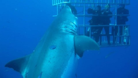 23-Foot Great White is Biggest Ever and Straight from a Hollywood Movie