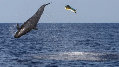 False Killer Whale Demolishes Mahi-Mahi In Amazing Feeding