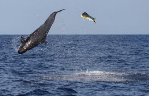 False Killer Whale Demolishes Mahi-Mahi In Amazing Feeding