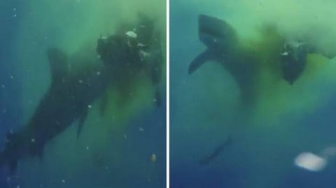 See Crazy Video of Tiger Shark Eating a Cow … in the Ocean