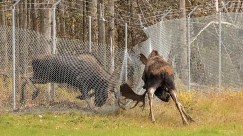 Video: WWE Moose Fight Blasts Through Fence