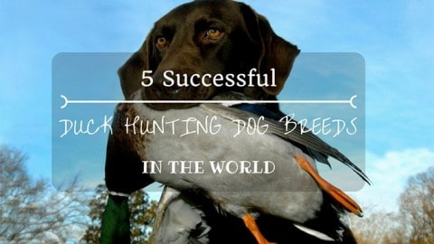 Top 5 Duck Hunting Dog Breeds In The World