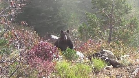 Hunters Call Elk, But Giant Grizzly Bear Comes Frighteningly Close Instead