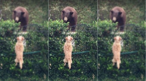 Two Tiny Dogs Fearlessly Face Down Black Bear in Their Backyard