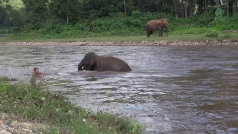 Baby Elephant Saves 'Drowning' Man In River
