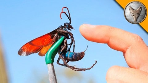 Guy Intentionally Gets Stung With The Second Most Powerful Insect – Tarantula Hawk – On The Planet