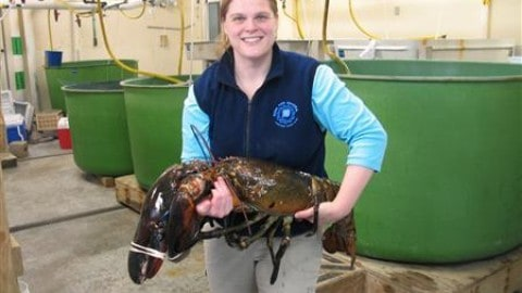 "Massive 27lb Lobster Named ""Rocky"" Released Back Into Ocean"