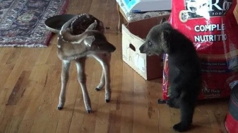 Video: Bear Cub and Baby Deer Become Best Friends…For Now