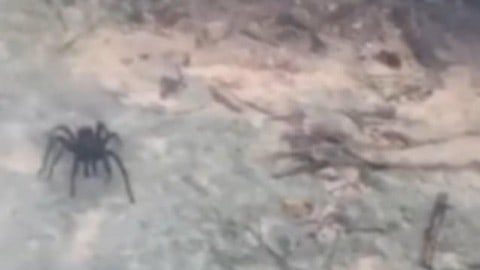 This Massive Spider is the Size of a Tortoise; Will Make You Reconsider Your Caribbean Vacation